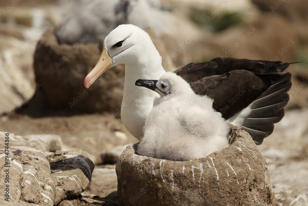 Fényképezés  Close up of a Black-browed Albatross with a chick sitting in the nest