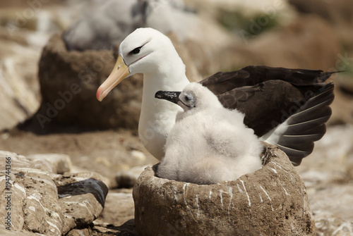 Fotografija  Close up of a Black-browed Albatross with a chick sitting in the nest