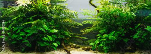 Fotografia Aquarium algae, elements of flora in fishbowl
