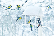 Tit And Woodpecker Birds In White Wooden Feeder Winter Snowy