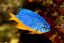 Azure Damselfish Chrysiptera H...