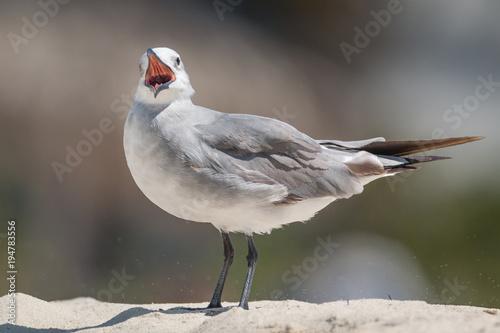 Laughing Gull  - Larus atricilla - Close-Up