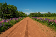On A Dirt Road Surrounded With Beautiful Flowers, Prince Edward Island Canada