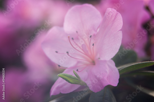 Blooming hybrid Azalia Rhododendron hybridum selection in a greenhouse