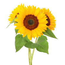 Three Sunny Sunflowers (Helianthus Annuus, Asteraceae)  Isolated On White Background,  Including Clipping Path, Germany