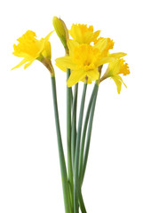 Beautiful narcissus (Narzissen, Narcissus) isolated on white background, inclusive clipping path. Germany