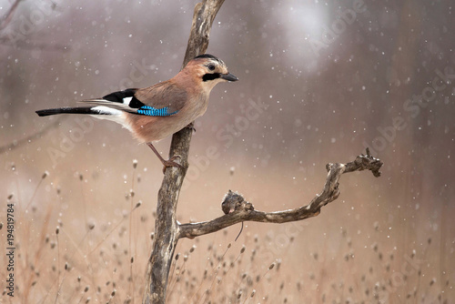 Eurasian Jay (Garrulus glandarius) in the snow sits on the stick with prey Fototapet
