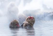 Snow Monkey Bathing In Hot Wat...