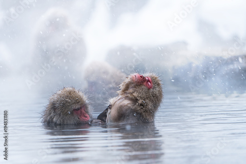 Foto op Plexiglas Aap Snow monkey bathing in hot water spring during winter, Japan
