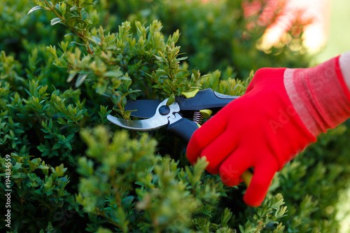 Gardening pruning closeup, trimming bushes in spring