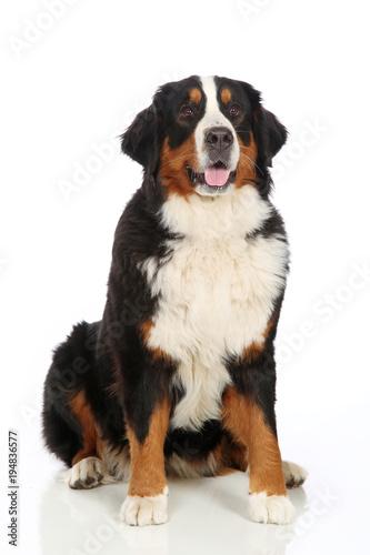 Photo Bernese Mountain Dog