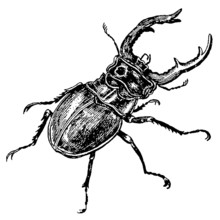 Stag Beetle In Top View, Isola...