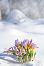 First Blue Crocus Flowers, Spr...