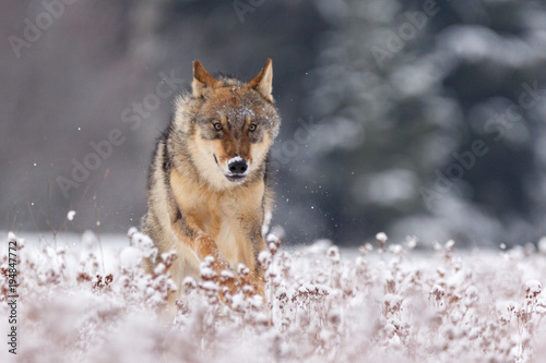 Wolf im Schnee Canvas Print