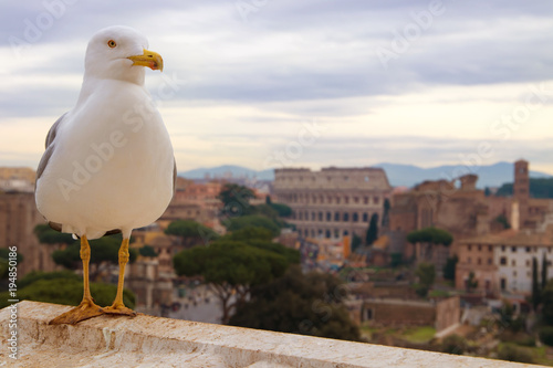 Fényképezés  Gull on the background of the ruins of Colosseum.
