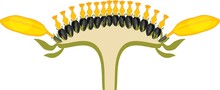 Flower Head Or Pseudanthium In Cross Section. Structure Of Sunflower Inflorescence