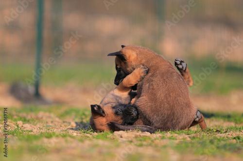 Fotografía  Puppy belgian shepherd