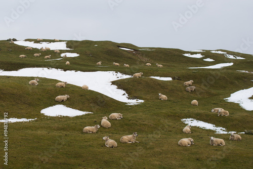 Canvas-taulu flock of sheep dotted around hillside with snow and grass in background