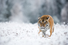 Young Siberian Tiger Silently ...