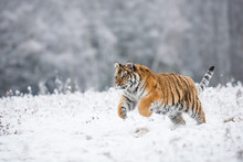Young Siberian Tiger Running A...