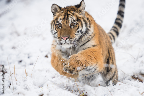 Tuinposter Tijger Young Siberian tiger running and jumping across snow fields