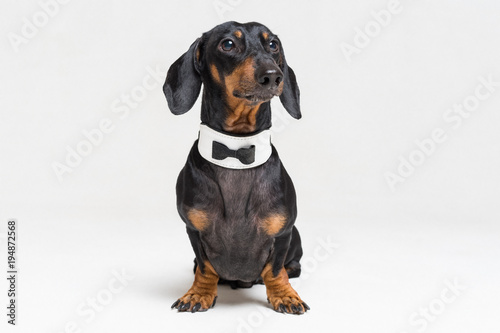 Portrait of cute dog, dachshund, black and tan, wearing  bow tie, isolated on gray background Canvas Print