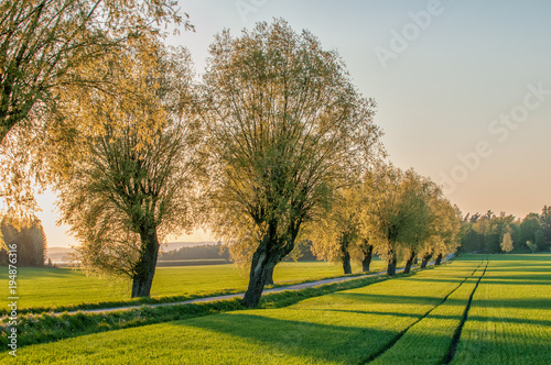Fototapeta Tree lined avenue in the countryside of Vikbolandet during a spring evening in Sweden
