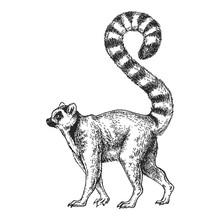 Zoo. African Fauna. Lemur, Mad...