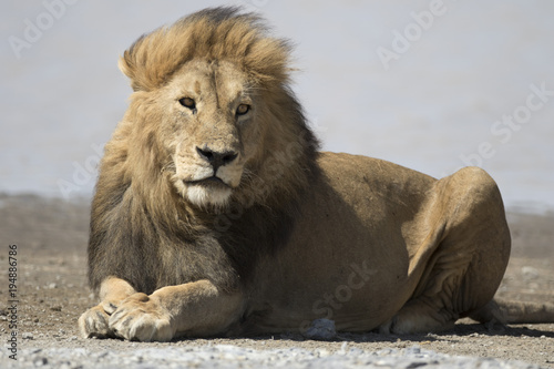 African lion free roaming portrait