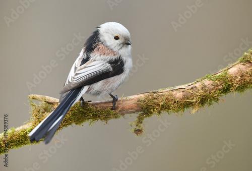 Carta da parati Long tailed tit (Aegithalos caudatus)