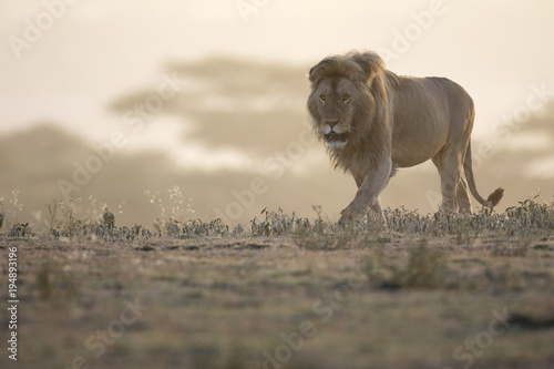 Portrait of free ranging wild african lion