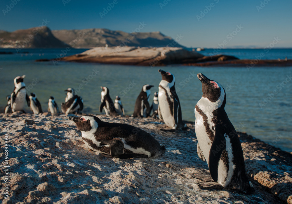 Group of Penguins resting in the Evening Sun in Simon's Town, South Africa