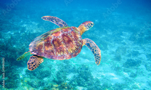 Aluminium Prints Under water Sea turtle in clear blue sea water. Green sea turtle closeup. Wildlife of tropical coral reef.