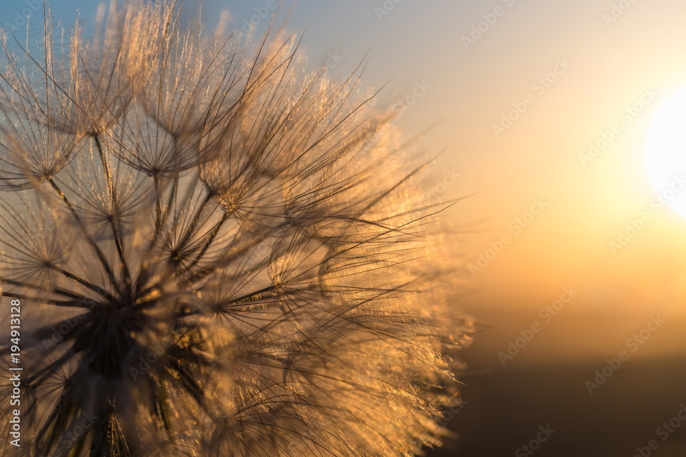 Fototapety, obrazy: Dandelion closeup against sun and sky during the dawn