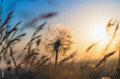 Fotografie, Obraz  Dandelion closeup against sun and sky during the dawn