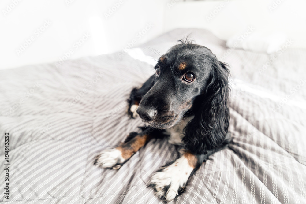 Black Spaniel dog on gray textile decorative coat and pillows for a scandinavian style bed in House or Hotel. Pets friendly concept.