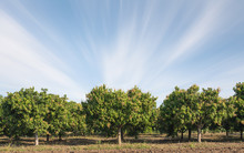 Mango Field,mango Farm  Blue S...