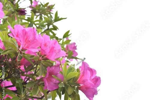 Foto op Plexiglas Azalea ツツジの花