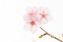 白背景の柔らかな雰囲気の桜の花