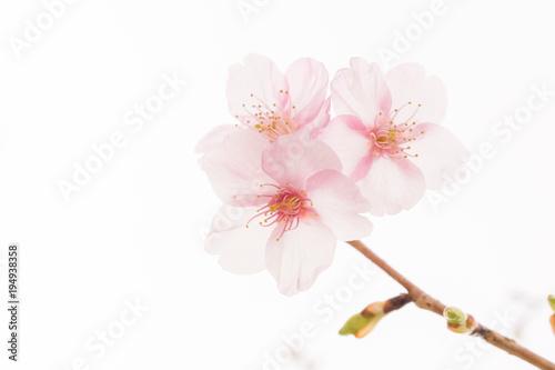 Foto op Plexiglas Kersen 白背景の柔らかな雰囲気の桜の花
