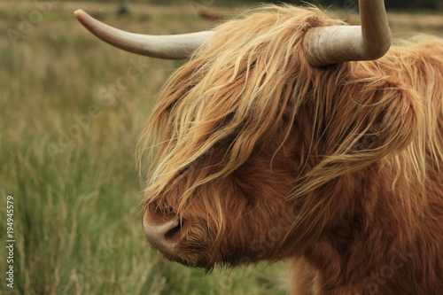 Deurstickers Schotse Hooglander hairy long haired Highland cow eating grass in a green field in Scotland