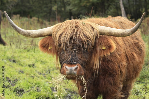 Fototapety, obrazy: hairy long haired Highland cow eating grass in a green field in Scotland