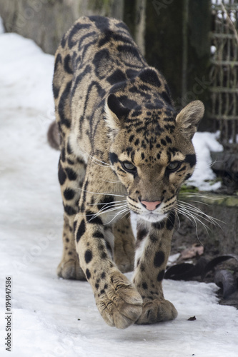 Neofelix nebulosa - Clouded leopard - walking in captivity in the snow.
