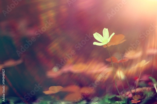 Poster Waterlelies vintage background little flowers, nature beautiful, toning design spring nature, sun plants