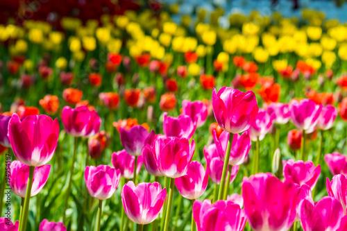 Fotobehang Roze チューリップの花畑