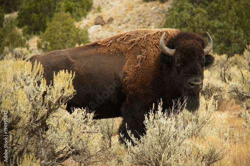 Spoed Foto op Canvas Bison Bison on Lava Creek Trail at Mammoth Hot Springs in Yellowstone National Park in Wyoming in the USA