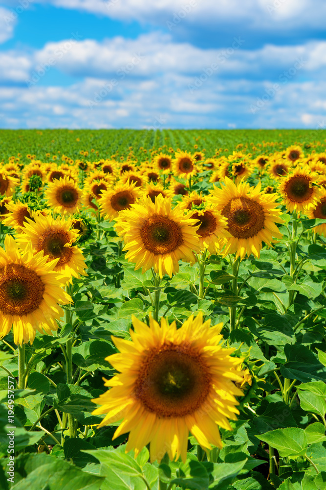 Photo of sunflower field with sky and clouds at summer