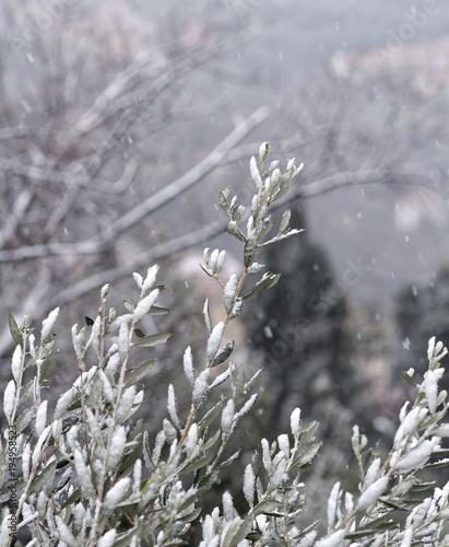 Tuinposter Olijfboom detail of olive tree under the snow