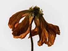 Fleur ,  Fanée  , Gros Plan