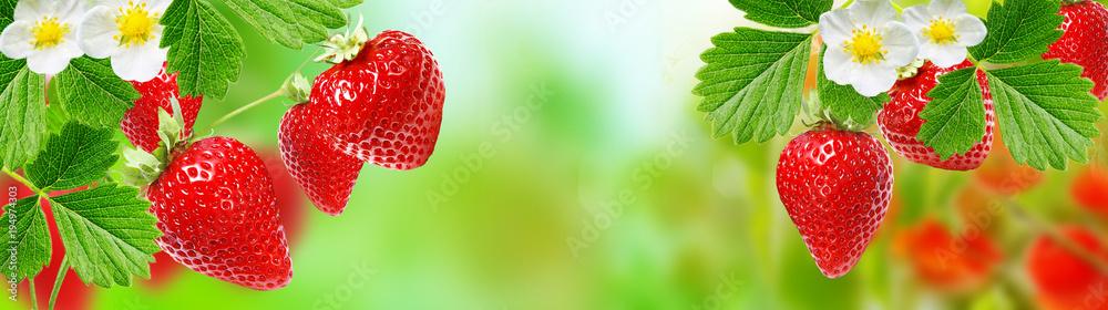 Fototapety, obrazy: gardening strawberry